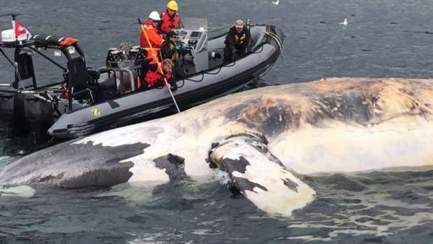 'Unprecedented' Loss of Right Whales in the Gulf of St. Lawrence